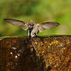 Anna's Hummingbird taking a bath in a fountain
