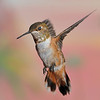 Rufous Hummingbird captured at Beatty's Guest Ranch,Miller Canyon,AZ.