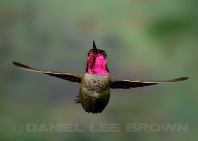 Male Anna's Hummingbird, Sacramento County, CA, 3-20-14. Cropped image