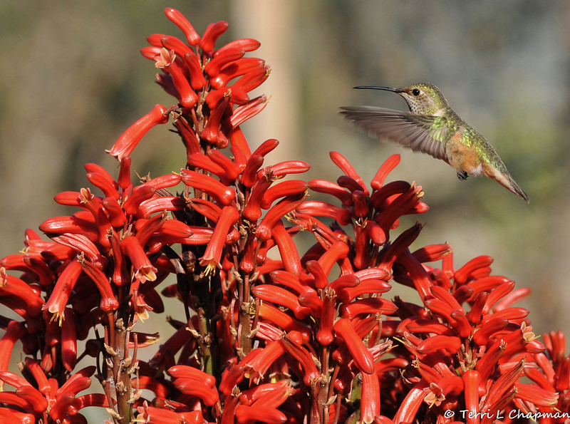 An Allen's Hummingbird