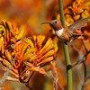 A Rufous Hummingbird (male) hovering over Kangaroo Paws