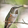 Female Broad-tailed hummingbird (Captive)