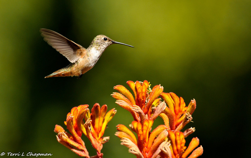 A female Allen's Hummingbird hovering over Kangaroo Paws