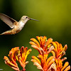 Rufous Hummingbird (female) hovering over Kangaroo Paws