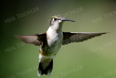 #1044  A ruby throated hummingbird juvenile male hovering