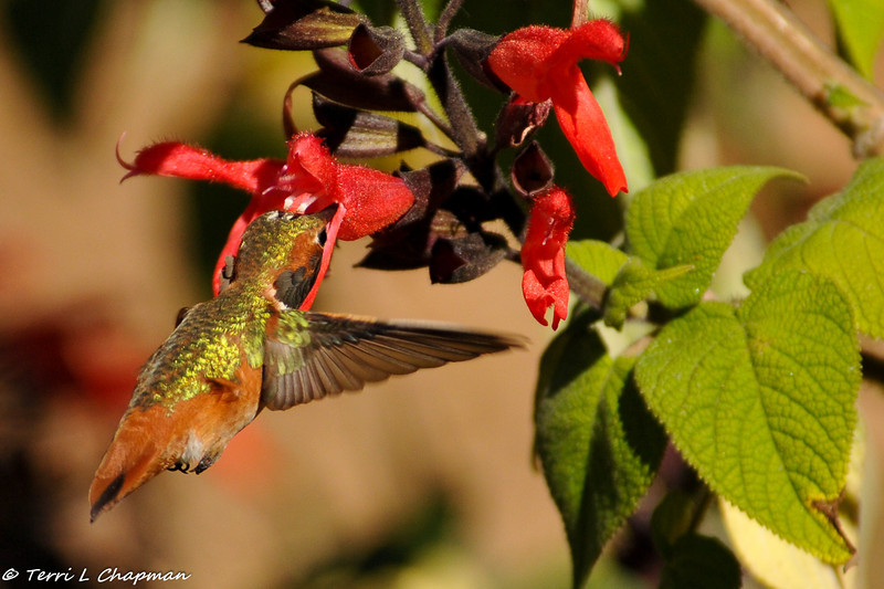 A male Allen's Hummingbird. His head looks like it is resting on the flower petal as he drinks the flower nectar.