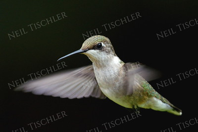 #1084  A ruby throated hummingbird hovering