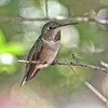 Curious female Broad-tailed hummingbird (Captive)