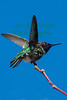 Annas Hummingbird0024