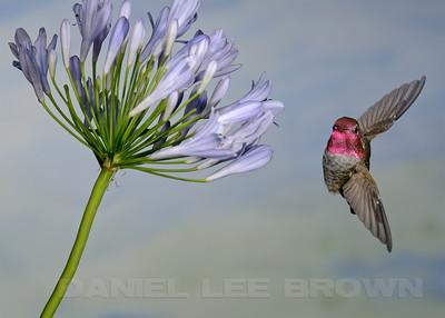 Male Anna's Hummingbird, Sacramento County, CA, 7-8-2013. Cropped image
