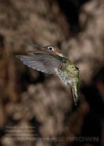 Male Anna's Hummingbird, Sacramento County, CA, 7-3-2013. Cropped image