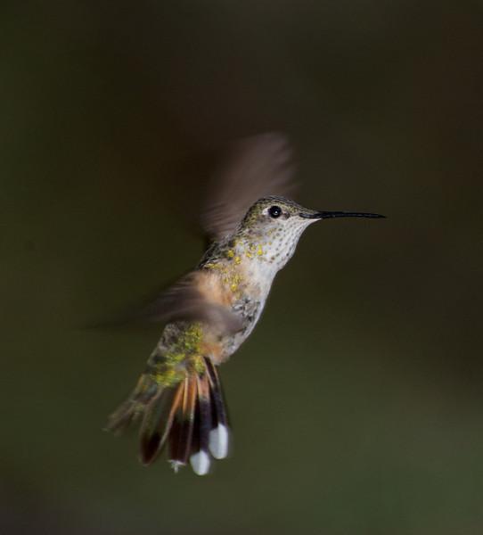 Blackchin Hummingbird