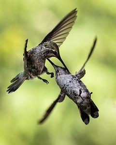 Anna's Hummingbirds Fighting