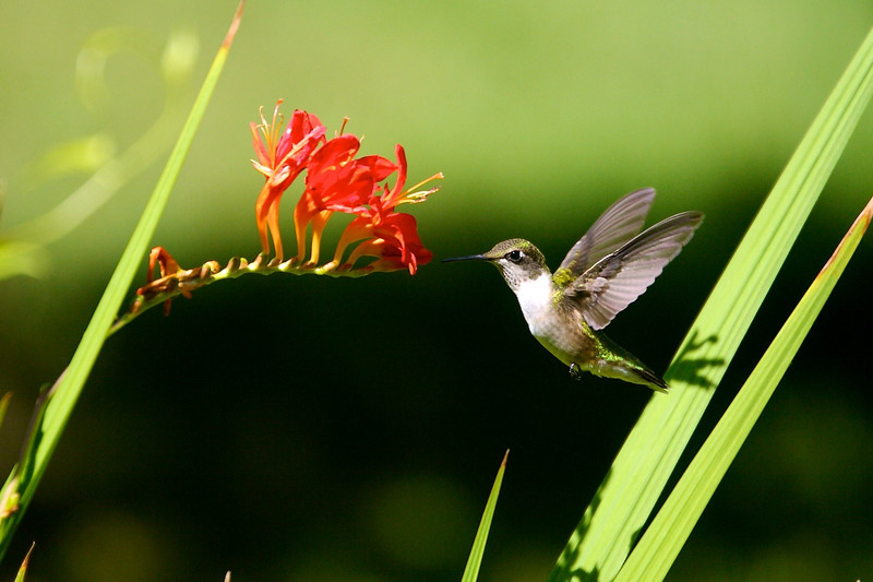 Hummingbird with Montbretia.<br /> Copyright 2007, Tom Farmer