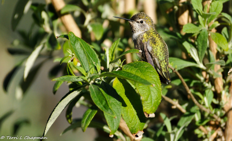A female Anna's Hummingbird perched in a Butterfly Bush
