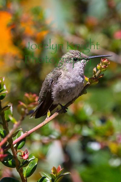 Hummingbird8792