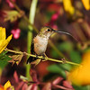 A female Allen's Hummingbird flicking his tongue out