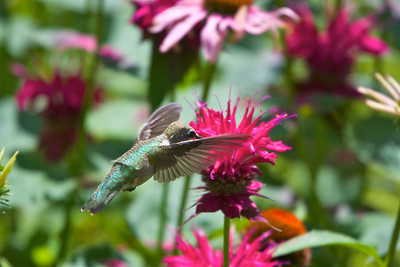 Hummingbird on Monarda Copyright 2007, Tom Farmer