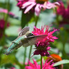 Hummingbird on Monarda<br /> Copyright 2007, Tom Farmer