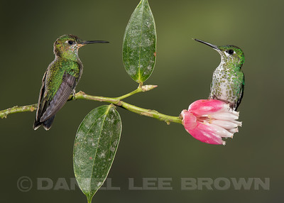 GREEN-CROWNED BRILLIANTS, juvenile male, left. Female right.