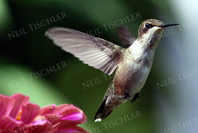 #946  A ruby throated hummingbird juvenile male in flight