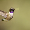 Black-chinned Hummingbird, Santa Rita Lodge, Madera Canyon, Arizona