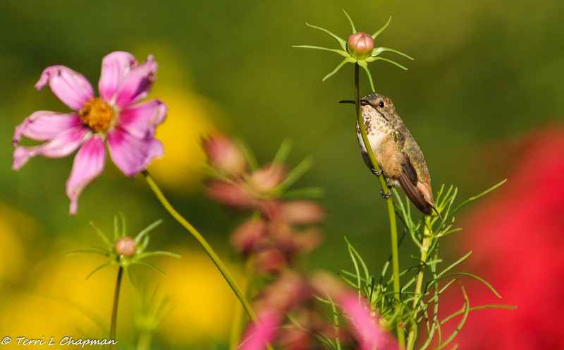 Allen's Hummingbird perched on a Cosmo stem