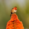 An Allen's Hummingbird on the top of a Hot Poker plant
