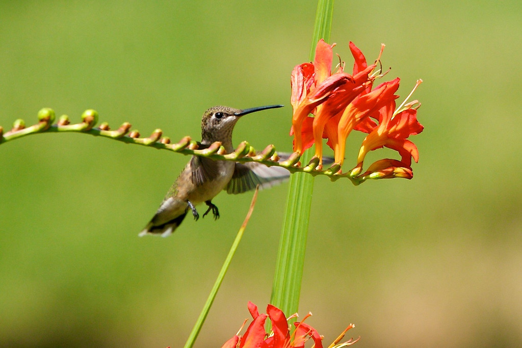 Hummingbird with Montbretia<br /> Copyright 2007, Tom Farmer