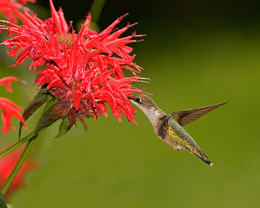 HummingBird-#2-10x8_printed_8178