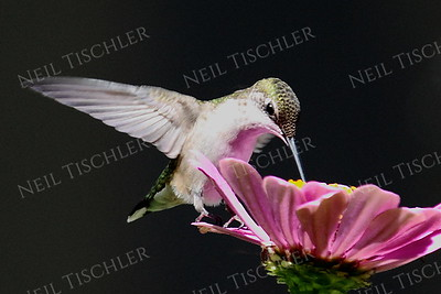 #945  A ruby throated hummingbird perched on a pink zinnia petal
