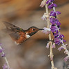 A male Allen's Hummingbird sipping nectar from a Mexican Bush sage flower
