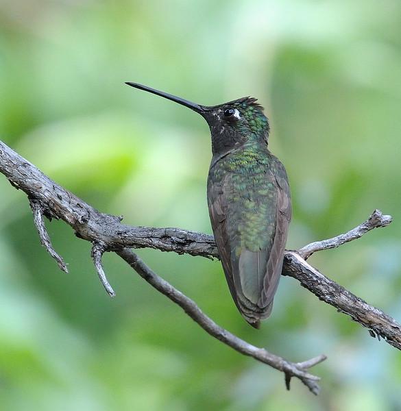 male Magnificent Hummingbird at Miller Canyon,AZ.