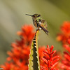 Allen's Hummingbird perched on an aloe plant on a windy day