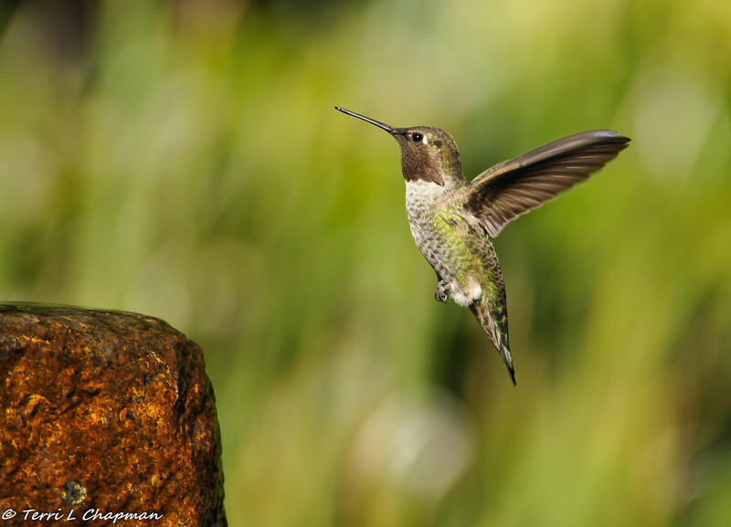 A male Anna's Hummingbird in flight