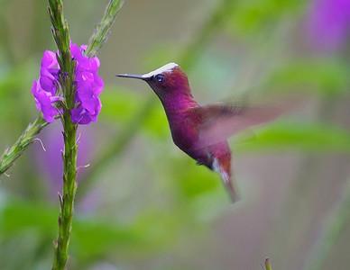Snowcap Hummingbird, Costa Rica