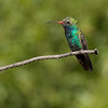 Broad-billed hummingbird on perch