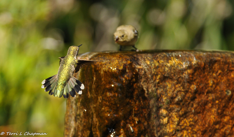 An Anna's Hummingbird and a Lesser Goldfinch vying for water on a hot summer day - the finch won and the hummingbird left, but the hummingbird came back right after the finch flew away