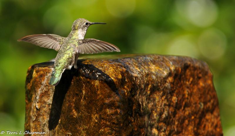 Anna's Hummingbird getting ready to take a bath