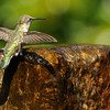 Anna's Hummingbird getting ready to take a bath