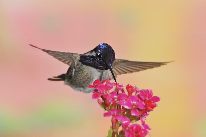 Costa's Hummingbird. The hummingbird's head is a little underexposed.