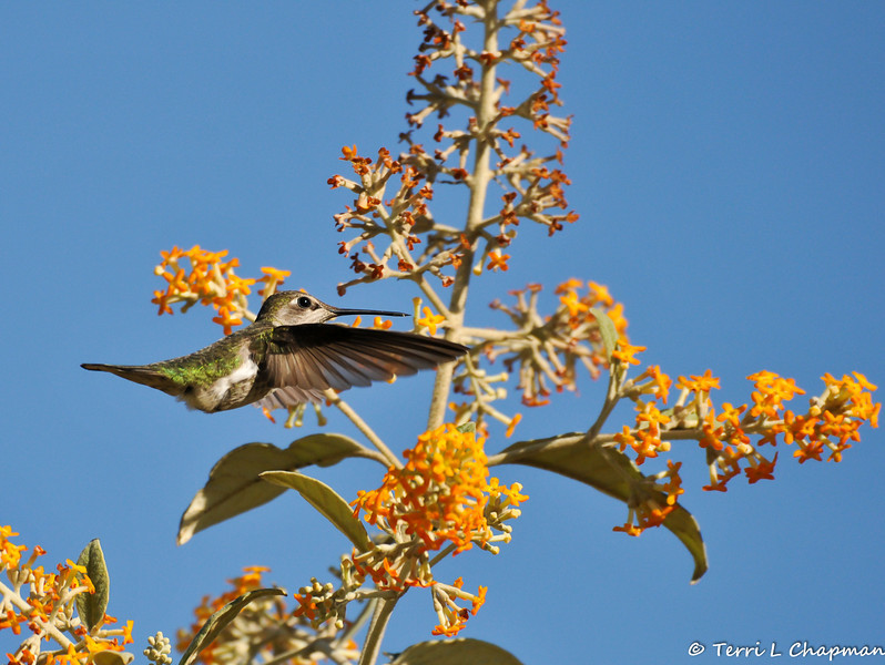 A female Anna's Hummingbird hovering over a Butterfly bush