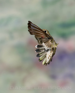 Hatch-year male Anna's Hummingbird, Sacramento County, CA, 7-4-2013. Cropped image