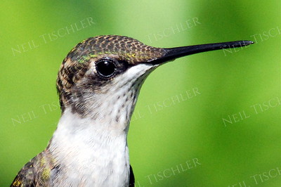 #887  A ruby throated hummingbird juvenile male portrait