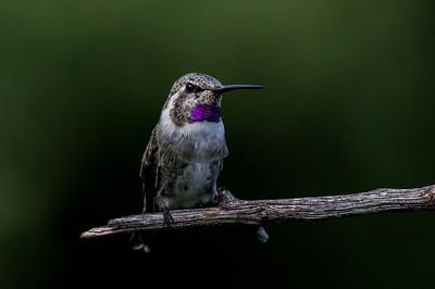Anna's Hummingbird - subadult male (Calypte anna)