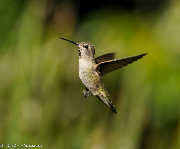 An Anna's Hummingbird in flight