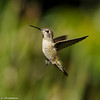 An Anna's Hummingbird in flight