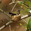A female Anna's Hummingbird sitting on two eggs in her nest