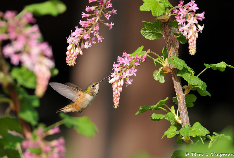 An Allen's Hummingbird with Flowering Current bloom