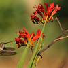 A female Allen's Hummingbird in flight near Crocosmia flowers